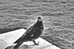 Una paloma del peacefull Imágenes de archivo libres de regalías