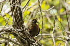 Una paloma en un árbol fotografía de archivo libre de regalías