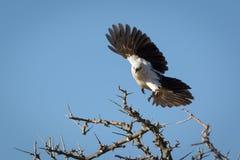 Una paloma en vuelo Imagen de archivo