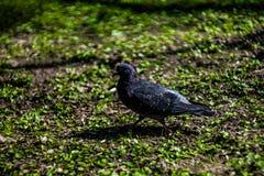 Una paloma está en un parque Foto de archivo