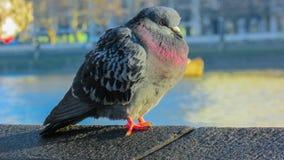 Una paloma fría Imagenes de archivo