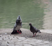 Una paloma masculina joven de la paloma de la roca está utilizando sho natural de la señal visual fotografía de archivo