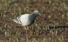 Una paloma o palomas salvajes Columba Livia de la roca que busca para la comida en un campo nuevamente cada vez mayor de la cosec Foto de archivo