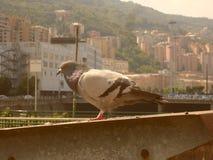 Una paloma que viaja imagen de archivo