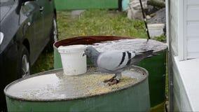 Una paloma salvaje come bajo la lluvia almacen de metraje de vídeo