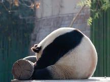 Una panda el dormir es tan linda Imagen de archivo libre de regalías