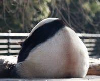 Una panda el dormir es tan linda Foto de archivo libre de regalías