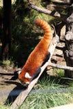 Una panda roja Foto de archivo libre de regalías