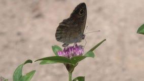 Una pared grande Brown /Lasiommata maera/de la mariposa recoge el néctar en una flor del trébol almacen de video