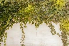 Una parete con le foglie verdi dell'uva che appende dall'alto verso il basso Immagine Stock Libera da Diritti