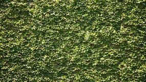 Una parete dell'edera Fotografia Stock