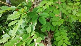 Una parte de un árbol del acacia Fotografía de archivo