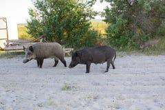 Una passeggiata di due maiali sulle sabbie della spiaggia del mare Fotografia Stock