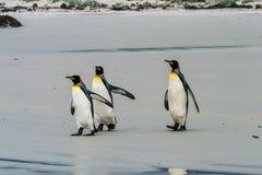 Una passeggiata di tre pinguini di re Fotografie Stock Libere da Diritti