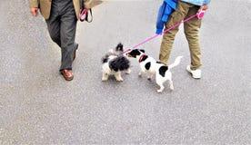 Una passeggiata DIVERTENTE di due piccoli cani fotografia stock