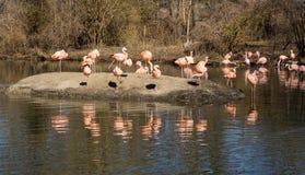 Una pausa para los flamencos en el parque zoológico de Bronx fotografía de archivo