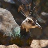 Una pava real elegante Imagen de archivo libre de regalías