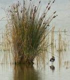 Una pavoncella nordica nell'habitat naturale dei it´s Fotografia Stock Libera da Diritti