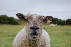 Una pecora Fotografie Stock Libere da Diritti