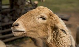 Una pecora Fotografie Stock