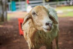 Una pecora Fotografia Stock Libera da Diritti