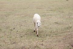 Una pecora che cammina nel prato immagine stock