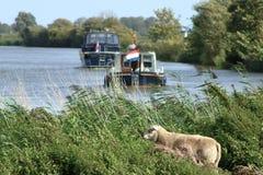 Una pecora che guarda sopra l'acqua fotografie stock libere da diritti