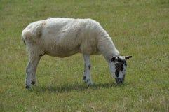Una pecora che pasce Fotografie Stock