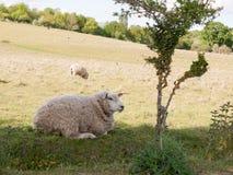 Una pecora che riposa nel campo fuori nel Regno Unito su si chiude in essex Fotografie Stock Libere da Diritti