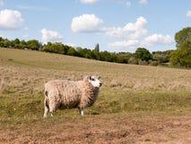 Una pecora che riposa nel campo fuori nel Regno Unito su si chiude in essex Fotografia Stock
