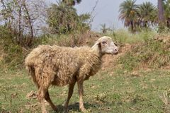 Una pecora che sta nella terra immagine stock libera da diritti