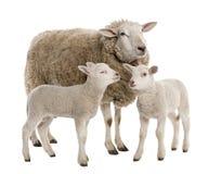 Una pecora con i suoi due agnelli Fotografie Stock