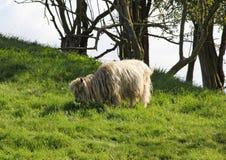 Una pecora dai capelli lunghi pasce su erba verde fertile immagini stock