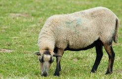 Una pecora dell'azienda agricola Immagini Stock Libere da Diritti