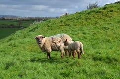 Una pecora della madre ed i suoi bambini in Irlanda immagine stock libera da diritti