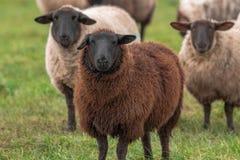 Una pecora di Brown con le pecore bianche in Irlanda fotografia stock libera da diritti