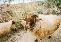 Una pecora divertente che posa sul pascolo, collina in Giordania immagini stock libere da diritti