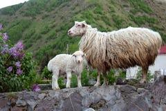 Una pecora e un agnello nel paesino di montagna fotografia stock