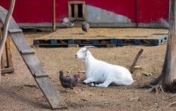 Una pecora ed alcuni polli alle sorgenti di acqua calda di chena Immagini Stock