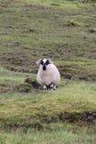 Una pecora in Irlanda Fotografie Stock Libere da Diritti