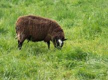 Una pecora marrone mangia l'erba Fotografie Stock