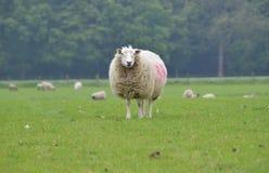 Una pecora nel campo immagini stock
