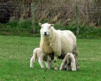 Una pecora, nel campo, con due fughe allattante fotografia stock libera da diritti