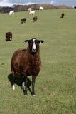 Una pecora rara della razza del Brown Zwartbles immagine stock
