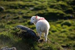 Una pecora sola Immagine Stock