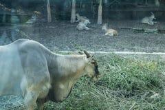 Una pecora sta pascendo e moltitudine in Chongqing Zoo fotografia stock libera da diritti