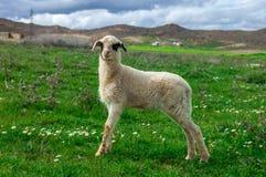Una pecora su un campo preso sul Marocco Fotografia Stock Libera da Diritti