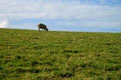 Una pecora sull'erba verde immagini stock