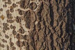 Una pendenza naturale nella corteccia di un albero Fotografia Stock