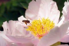 Una peonía en la floración y una abeja Foto de archivo libre de regalías